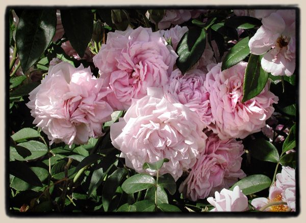 Annie Laurie McDowell - thornless fragrant climber. Flowers sacrificing growth. High nitrogen fertilizer can be used to minimize flowering to let this grow. Some shade tolerance.  Bred by Kim Rupert.: Rose I D, Rose Inspiration, Climbing Roses, Shrub, Thornless Roses May, Flowers Perennials, Minimal Flowers