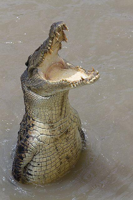 Saltwater Crocodile by jonclark2000, via Flickr  (This guy must have been kept at a zoo too long and learned this trick from the polar bears)  (FEED ME... SUCKA)