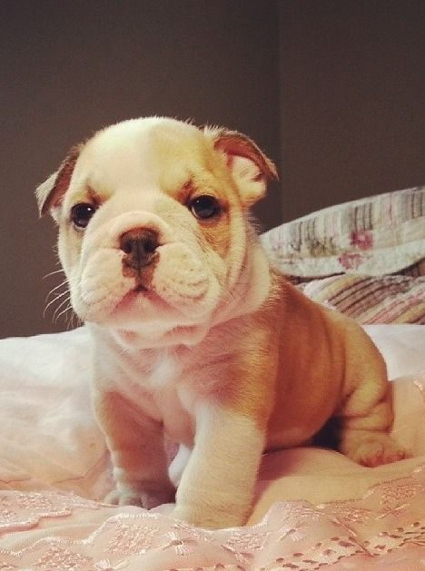 Cute Little Bulldog Puppy.