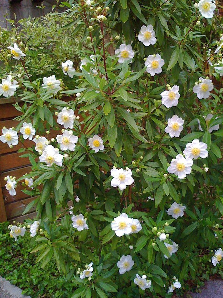 Now In Bloom Carpenteria Californica California Native