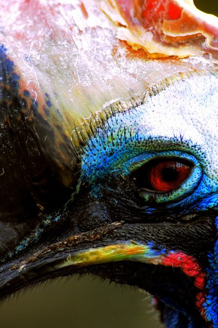 Gorgeous cassowary close-up - one of my very favourite creatures on this entire planet.