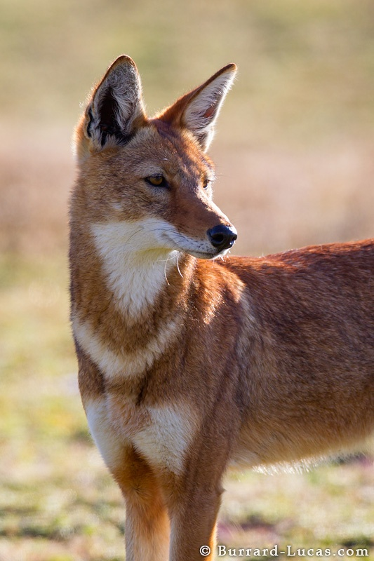 Close up of Ethiopian Wolf