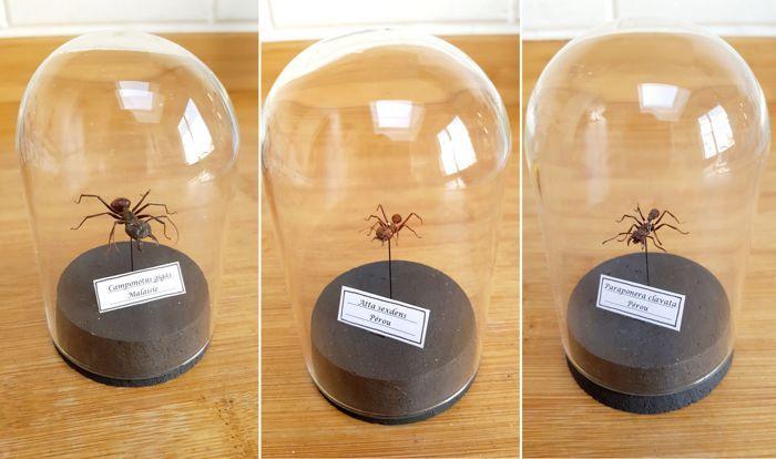 Ongewone reeks van Ant monsters onder glas-koepels - Paraponera clavata Atta sexdens en Camponotus gigas - 10 x 6cm (3)  MUSEUM kwaliteit - de 3 mieren worden gepresenteerd in een perfecte glazen koepel (10cm hoge x 6 cm basis)-Paraponera clavata staat bekend als de bullet ant genoemd vanwege zijn krachtige en krachtige sting als gevolg van de venom.De pijn veroorzaakt door dit insect sting is gerangschikt als de meest pijnlijke volgens de Schmidt sting pain index boven de tarantula hawk…