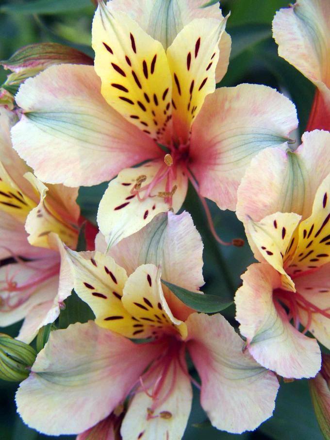 nature | flowers | alstroemeria