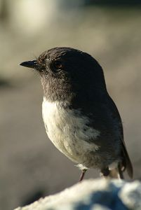 The New Zealand Robin or Toutouwai (Māori), Petroica australis, is a sparrow-sized bird found only in New Zealand, where it has the status of a protected endemic species.