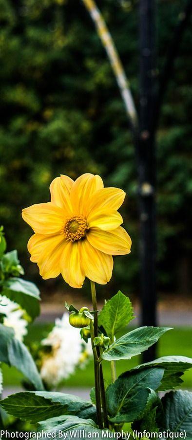 Botanic Gardens 4840 - Yellow Flower