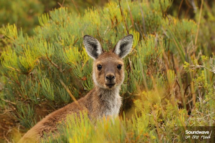 Kangaroo, Esperance, Western Australia