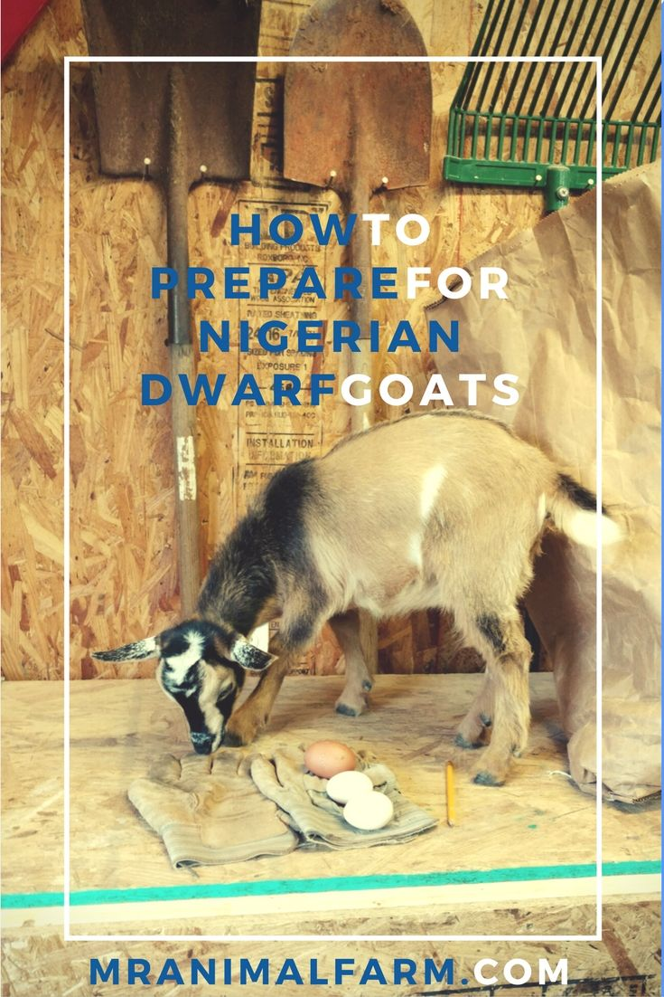 Finally getting some cute goats?  Here are 7 supplies you will need to prepare for you new goats.