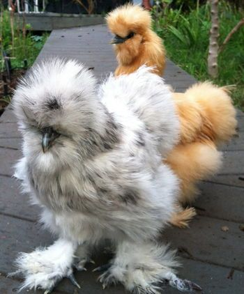 Silkie chickens, the best (and cutest!) breed to be kept as pets. They don't need a high fence; they have the sweetest temperament, love to sit on your lap, and are wonderful with kids. More here: http://www.backyardchickenproject.com/breed-spotlight-silkie-chicken/