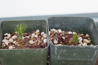 I planted pine seeds again this year – black and red. The seeds came from Shikoku, Japan. It's legal to import pine seeds – permits are available from the USDA – and the pro…
