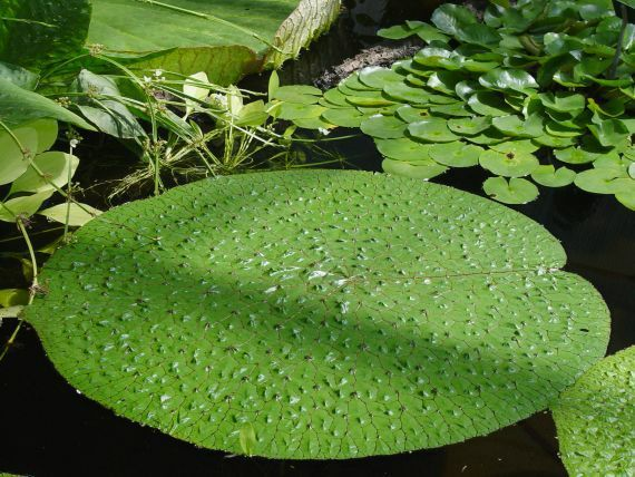 Euryale ferox