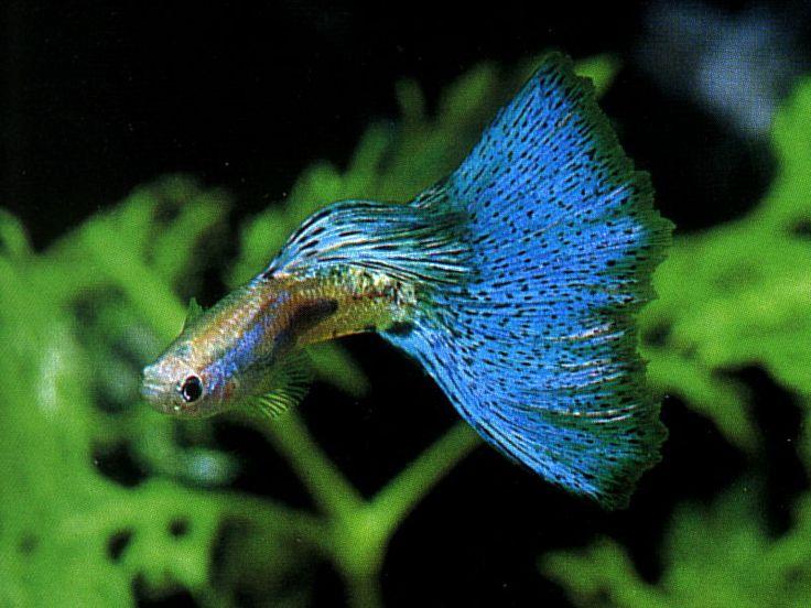 Exotic Fish Tropical Freshwater Aquarium Fish