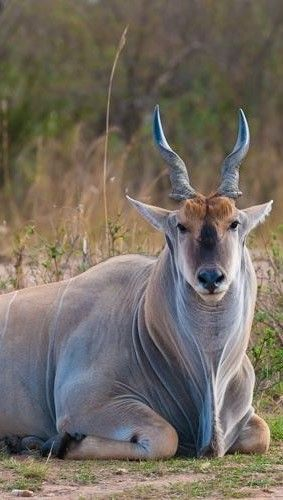 Africa's Antelope, the Eland, can be seen throughout Nairobi National Park, Kenya