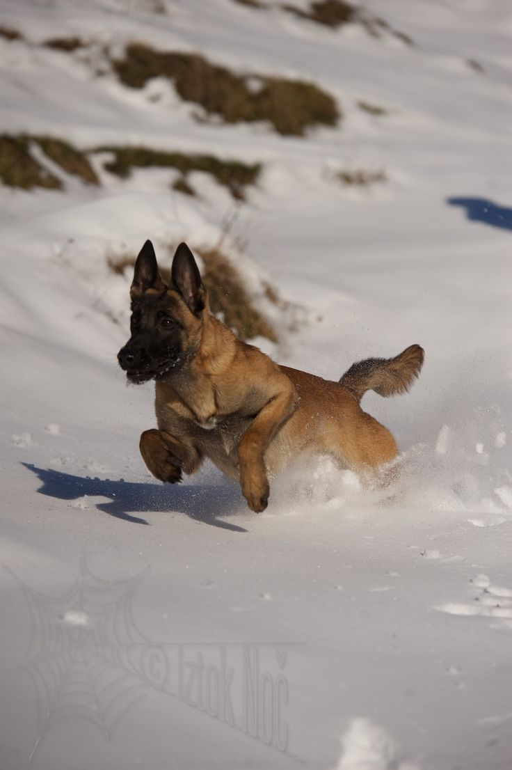 179 Best Images About Belgian Malinois On Pinterest