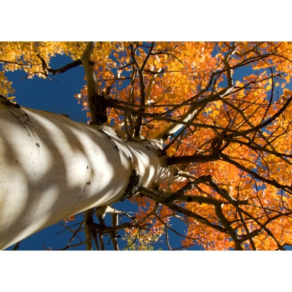 trees: Awesome Trees, Aspen Trees, Awesome Photo, Trees Fall, Beautiful Colors, Art Photography, Art Photographers, Fall Trees, Dreams Trees