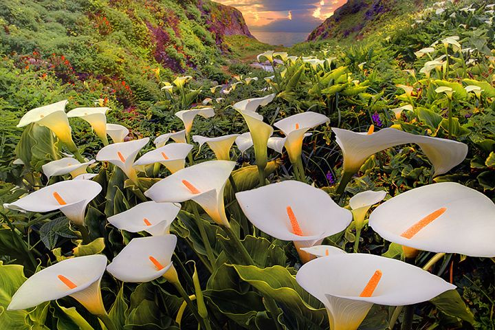 calla lillies, Garrapata State ParkFlower Painting, Big Sur California, States Parks, Calla Lilies, Garrapata States, Calla Lilly, Mr. Big, Nature Photography, Fields