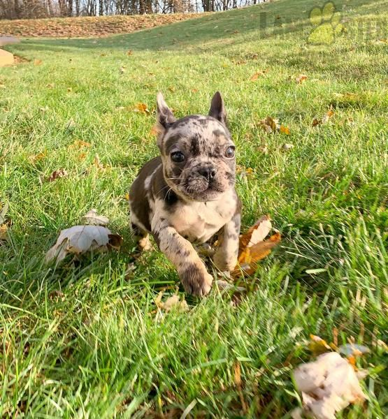 Gucci [Video Clip] French Bulldog Puppy for Sale in