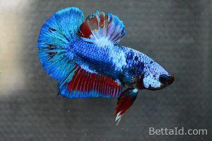 Ikan Cupang Plakat Fancy PK9. Warna Fancy, Size M, kondisi ikan sehat, body proporsional, mental berani, warna sisik mengkilap, betuk keseluruhan mewah. #ikan #cupang #plakat #ikancupang #bettafish