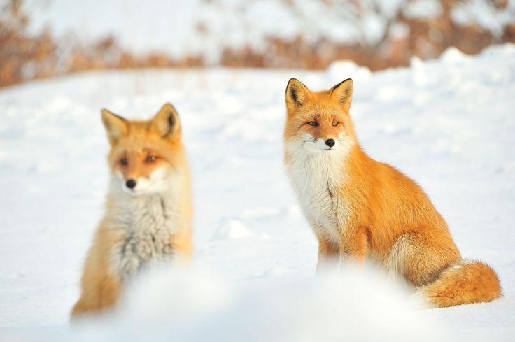 Red Foxes by Kikorin Kitanohotaruya
