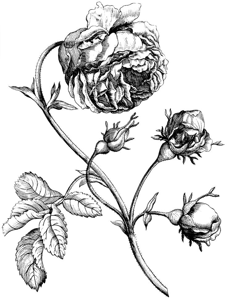 Old Rose Engraving Image - Beautiful! - The Graphics Fairy