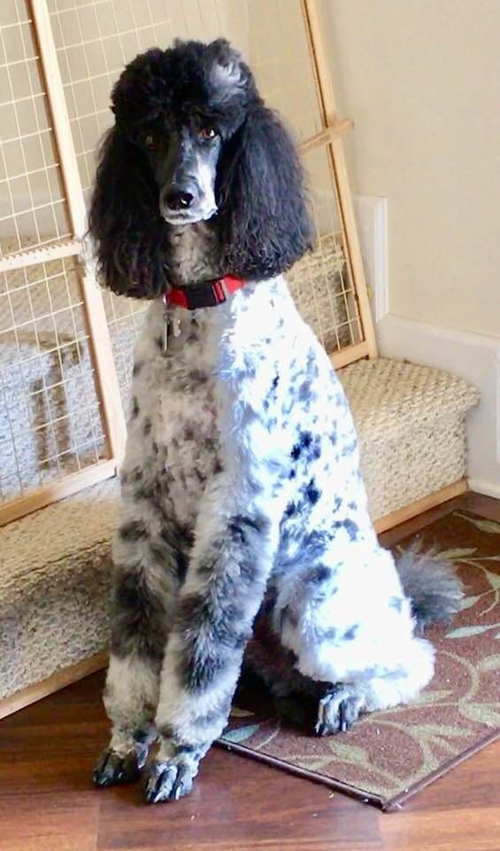 Pin By Teresa Teague On Poodles Poodle Cute Dogs Puppies