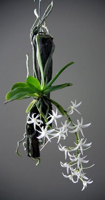 Hanging orchid