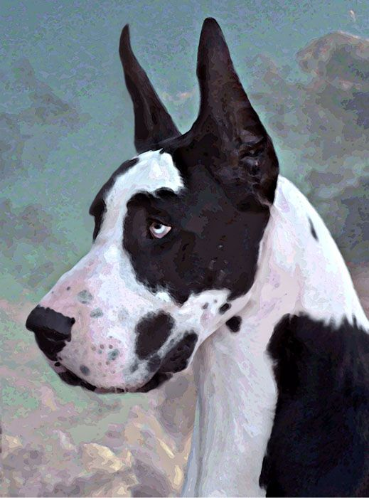 Great Dane: Our spotted dog is always covered in paint.