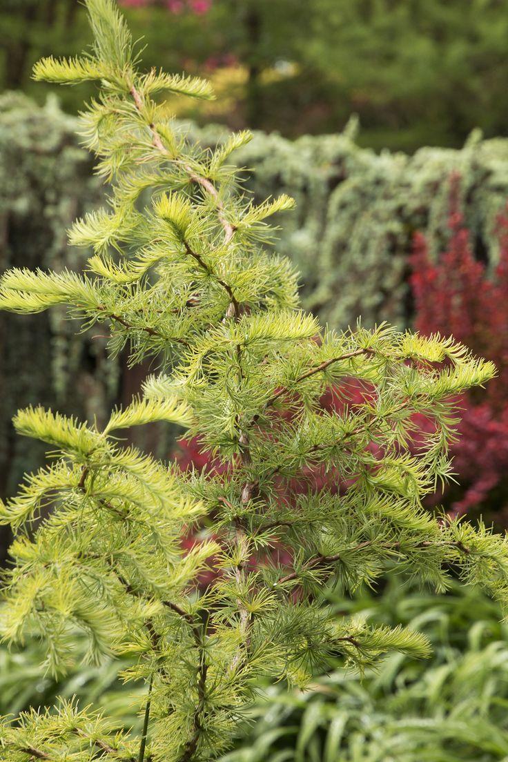 15 best Deciduous trees -- conifers images on Pinterest | Deciduous ...