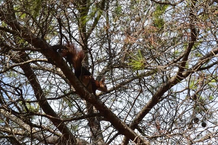 Ardilla / squirrel