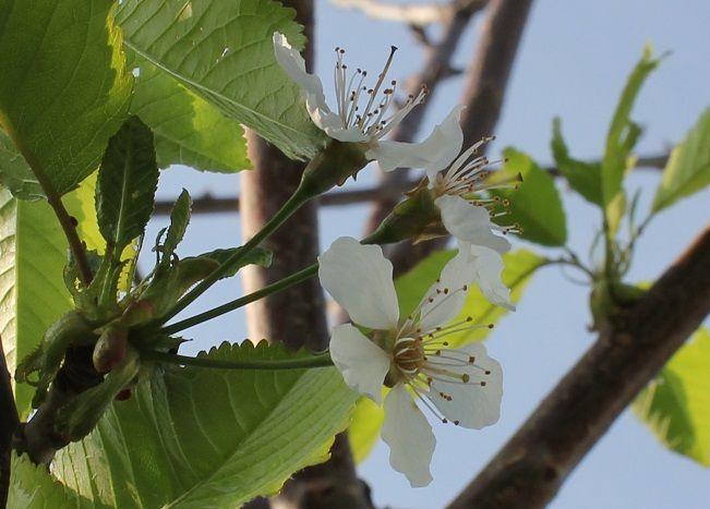Cherry 'Stella' flower
