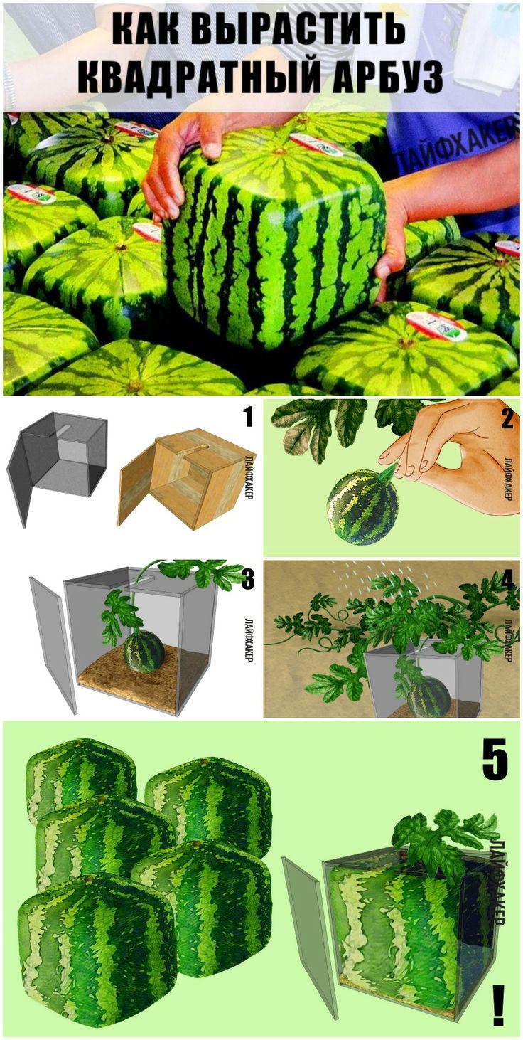 Лайфхак: как вырастить квадратный арбуз