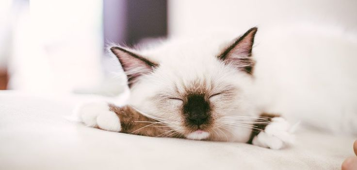 Our new cat ragdoll Tyrion first blog post!