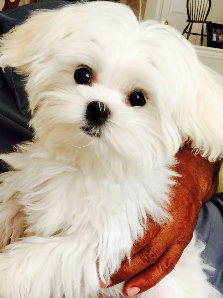 Adopted Puppy | Maltese Puppies Quebec Canada