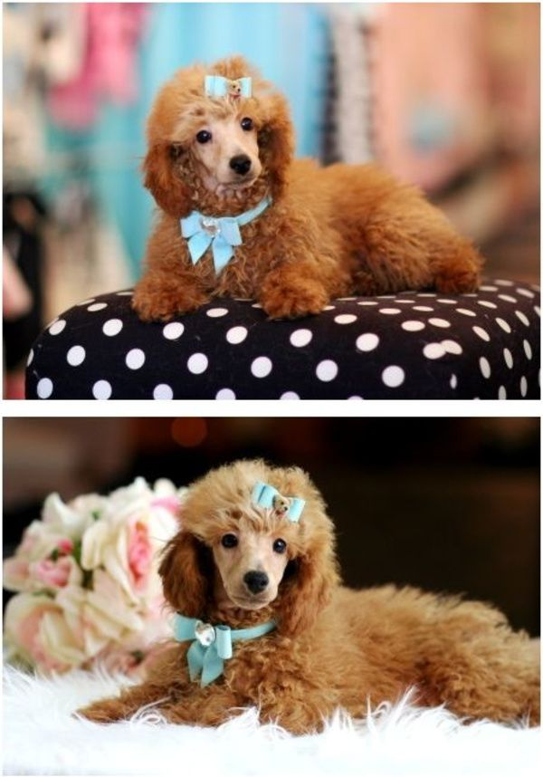 Poodles Smart Active And Proud In 2020 Poodle Puppy Teacup