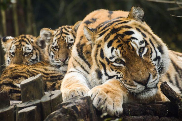 Sweet Tiger Family :-) | Tiger love, Big cats, Pretty cats