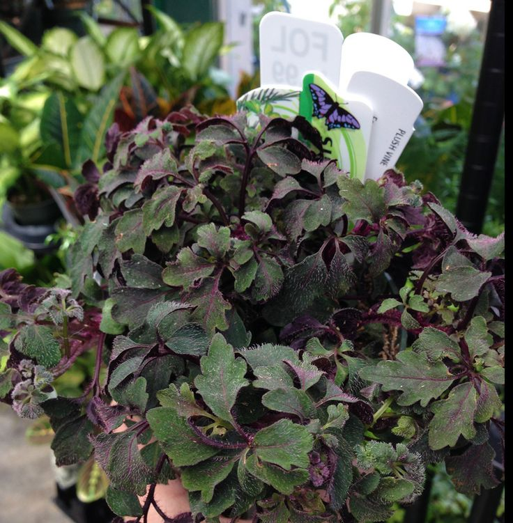 Plush Vine Mikania Ternate Fast Growing Trailing Plant With Reddish Purple Leaves Provide