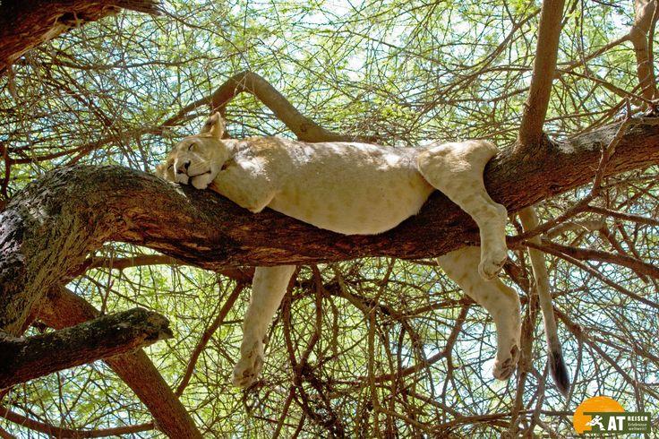 #Tansania #Safari #Löwe