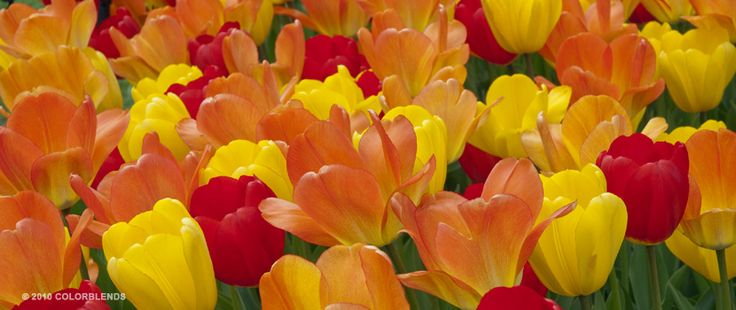 "A photograph of the the spring flowering Tulip Bulbs cultivar ""Celebration"""