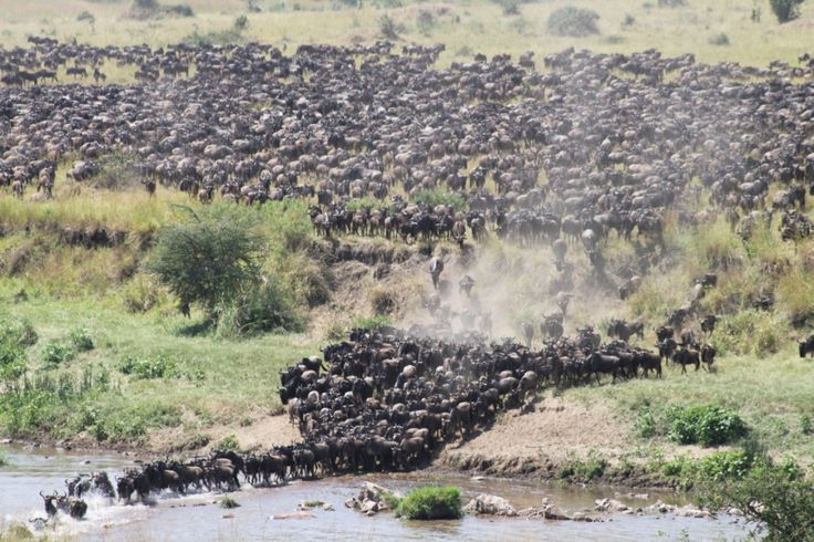 The migration has arrived at Sinigta Mara River Tented Camp! Guests have been treated to a most amazing spectacle!