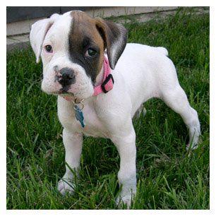 Good White Anime Adorable Dog - 05ac55df6e8608a551c057b9e94595c8--white-boxer-puppies-boxer-pups  Picture_983986  .jpg