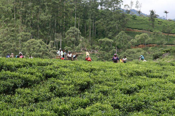 Een van de mooiste delen van Sri Lanka is het gebied van de thee.