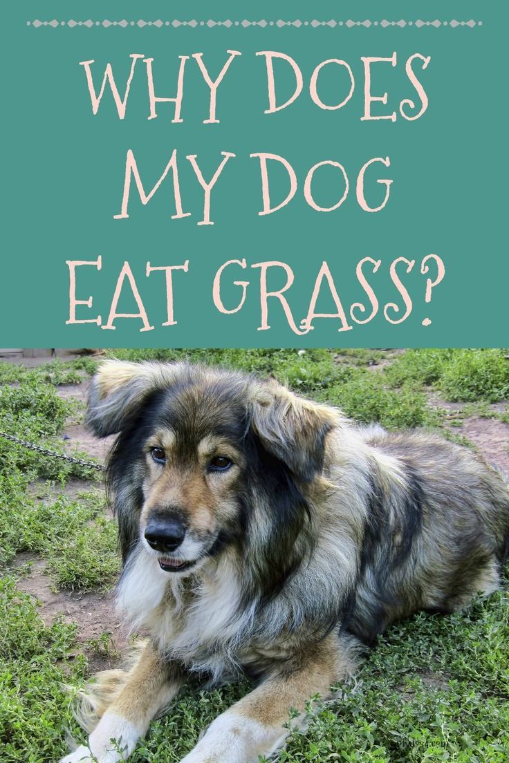 Why Does My Dog Eat Grass Dogs Eating Grass Dog Eating Dogs