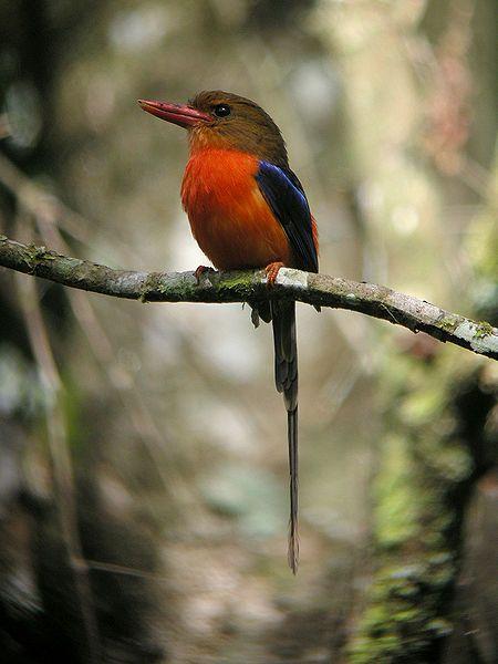 Brown-headed Paradise Kingfisher, Tanysiptera danae. wiki