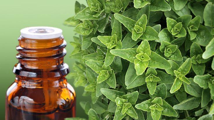 Ριγανέλαιο: Tο φυσικό αντιβιοτικό που πρέπει να βρίσκεται σε κάθε σπίτι. Πως φτιάχνεται;