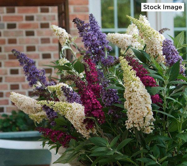 Cottage Farms Dazzling Designs Tri Color Butterfly Bush Page 1 Qvc Com Butterfly Bush Planting Roses Trellis Plants