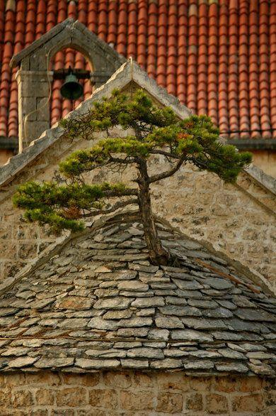 Island Brač, Croatia // Tree growing through the roof