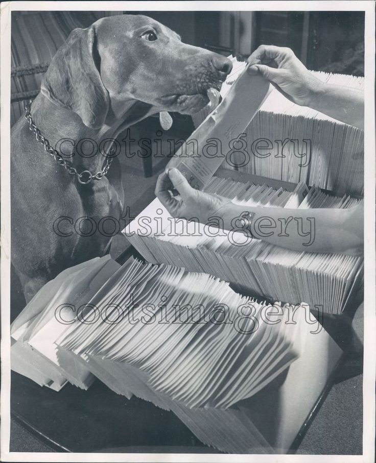 1952 Weimaraner Dog Assists in Licking Envelopes For Mass Mailing Press Photo | eBay