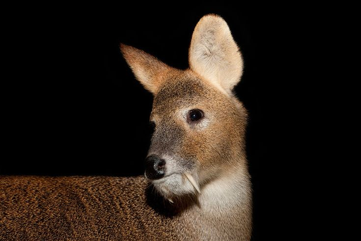 Chinese Water Deer (<i>Hydropotes inermis</i>)