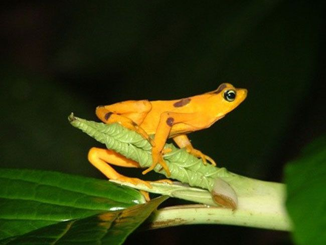 The Panamanian golden frog is one of more than 100 species of disappearing harlequin frogs.