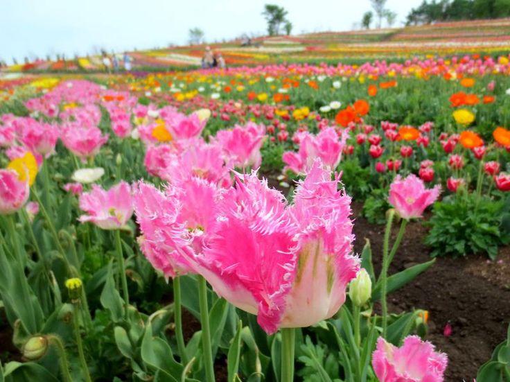 栃木県那須町「那須フラワーワールド」は、壮麗な山々に囲まれた美しい高原のお花畑。毎年5月の連休頃になると、22万株ものチューリップが美しい高原を埋め尽くします。山々が青い空に映え、大地を埋め尽くす色とりどりの花の絨毯は、まるで絵画の中に迷い込んだかのよう。原種・八重咲・フリンジ咲きなど珍しい種類を含め約300種が植えられ、まるでチューリップの博物館!高原の春の絶景に出会いに那須に出かけませんか。
